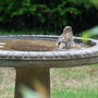 Sparrows_getting_a_bath_1_