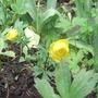 Globeflower 'Trollius europus' Named for me by Bulbaholic. (Globeflower trollius europus)