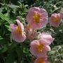 Helianthemum_wisley_pink_