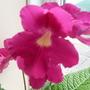 "Streptocarpus ""Susie Sunshine"