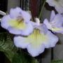 "Streptocarpus "" Charlotte"""