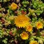 Succulent.......