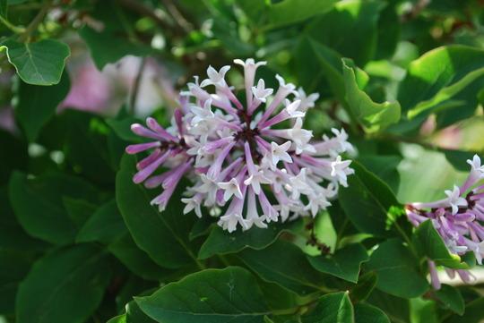 Lilac. (Syringa Miss Kim)
