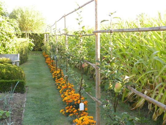 newly planted, trained fruit trees in a row at our neighbours (2009) (tagetes)