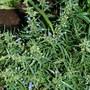 Penstemon buds (Penstemon heterophyllus (Penstemon))