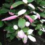 Actinidia kolomikta foliage - 2010 (Actinidia kolomikta)