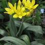 Allium moly - 2010 (Allium moly)