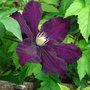 Clematis_warsaw_nike_2010