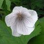 Geranium 'Kashmir White' - 2010 (Geranium clarkei)