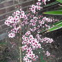 Leptospermum_scoparium_martinii_2010