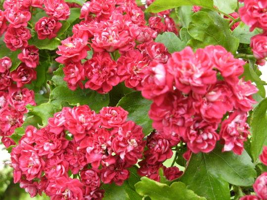 Hawthorn .. ' Pauls Scarlet '