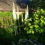 Eremus( Foxtail Lillies)