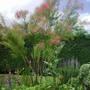 Tamarix (Tamarix ramosissima)