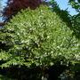 Davidia Involucrata( Handkerchief Tree) Preen Manor