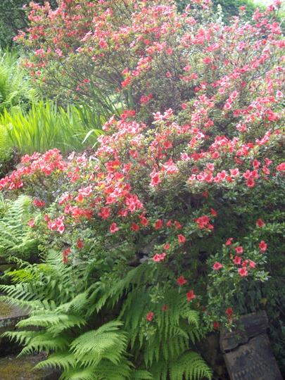 Rhododendron, Azalea (Rhododendron, Azalea, red/magenta)