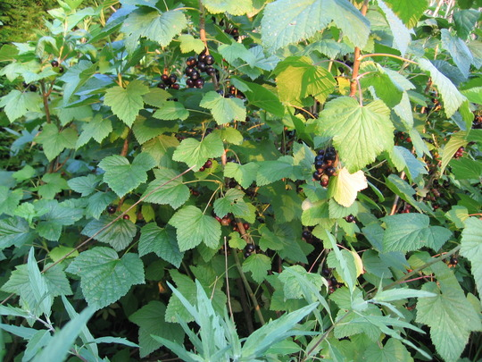 blackcurrants 'Wellington' at the end of June 2006 (Ribes nigrum)