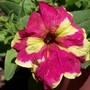 First petunia of the year (Petunia sophistica Lime bicolor)