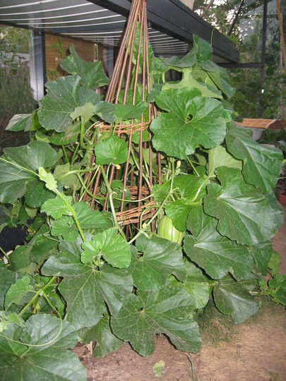 the same melon plant two months later, at the end of July 2006  (cucumis melo)