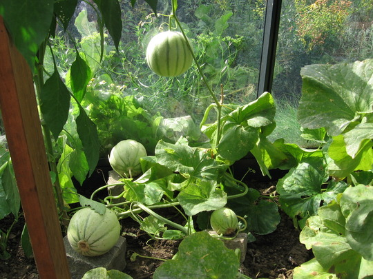 melons in the greenhouse at the beginning of September 2006 (Cucumis melo)