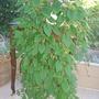 Alsobia dianthiflora (Lacy Flower)
