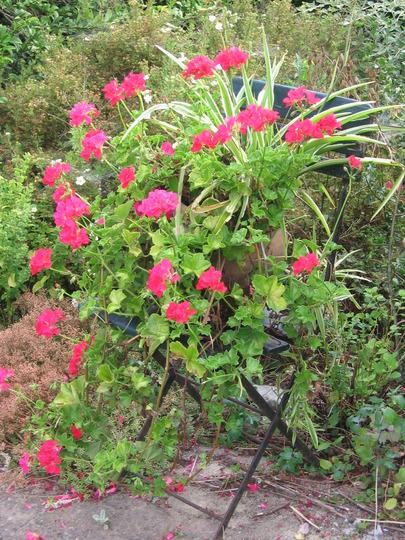 pelargonium peltatum  in 2006 (Pelargonium peltatum (Hanging Geranium))