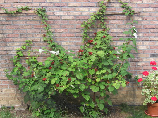 Japanese wineberry on east wall  in July 2006 (Rubus phoenicolasius (Japanese wineberry))