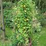 Black-eyed Susan vine and sweet peas (Thunbergia alata)
