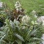 Morina  (Morina longifolia (Whorl Flower))