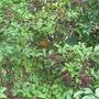 pumpkins climbing up in elderberry  (Sambucus nigra (Black Elder))