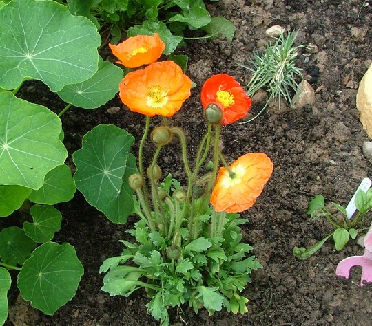 poppy(garden gnome)