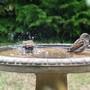 sparrows in the bird bath