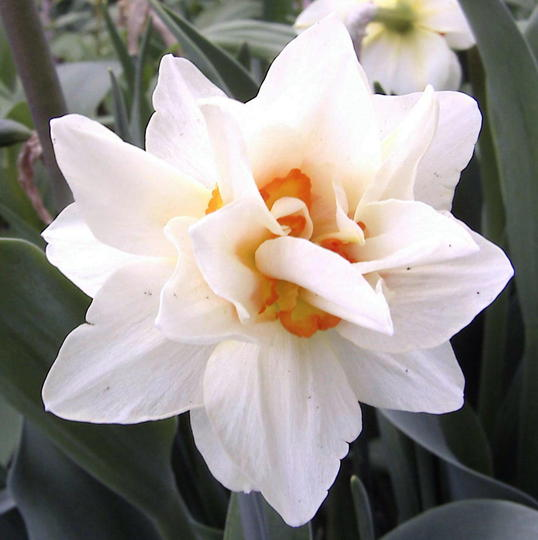 Double daffodil (Narcissus Acropolis)