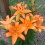 Daylily (Lilium)