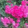 Minature Climbing rose