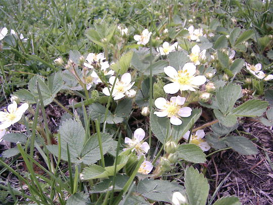 Wild strawberry plants (Fragaria vesca (Alpine Strawberry))
