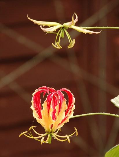 Flying flowers (Gloriosa superba (Buch Nak Hindi))