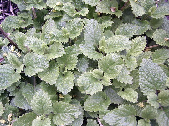 Lemon balm is coming up ( Everywhere!! Eek!) (Melissa officinalis (Lemon balm))
