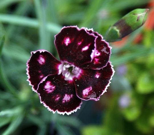 """Dianthus """"Mystic Star"""" (Dianthus)"""