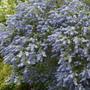 Ceanothus (Rhamnaceae)