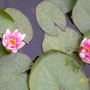 pond, water lilies