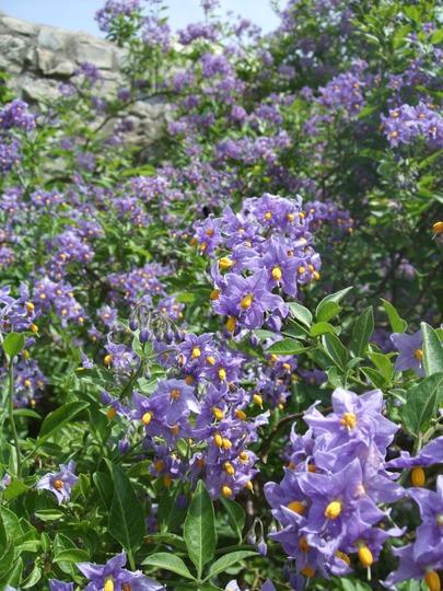 A mass of colour (Solanum crispum (Chilean potato tree)'Glasnevin')