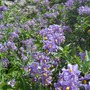 A mass of colour (Solanum crispum (Chilean potato tree)'Glasnevin')