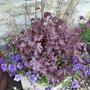 Heuchera_purple_petunias