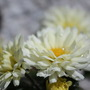 chrysanthemum`s