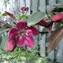 Flowering crabapple (Malus)