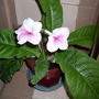"""Streptocarpus """"Pink Leyla"""""""