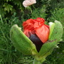 Yesterday Papaver orientale 'Brilliant'