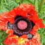 and today Papaver orientale 'Brilliant'