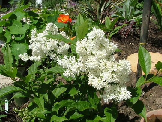 syringa agnes smith