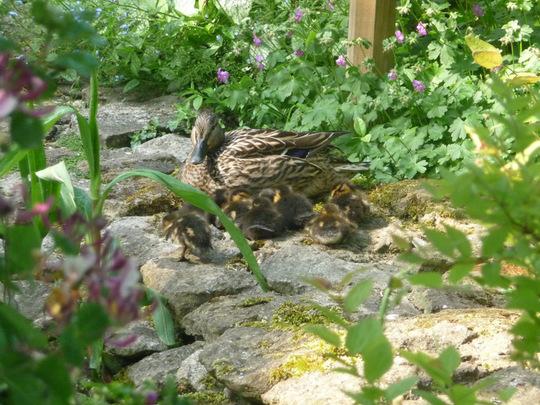 Ducklings arrive.